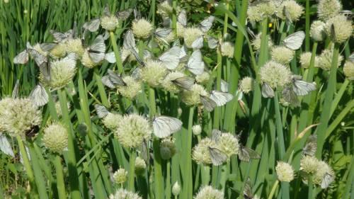 бабочки боярышницы