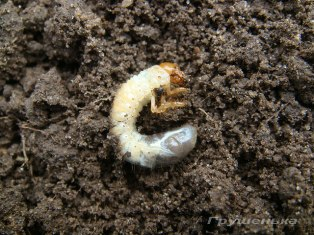Хрущ (личинка майского жука)
